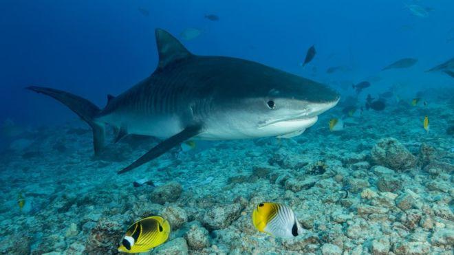 В желудке акулы была обнаружена рука с обручальным кольцом, по которому удалось определить пропавшего шотландца