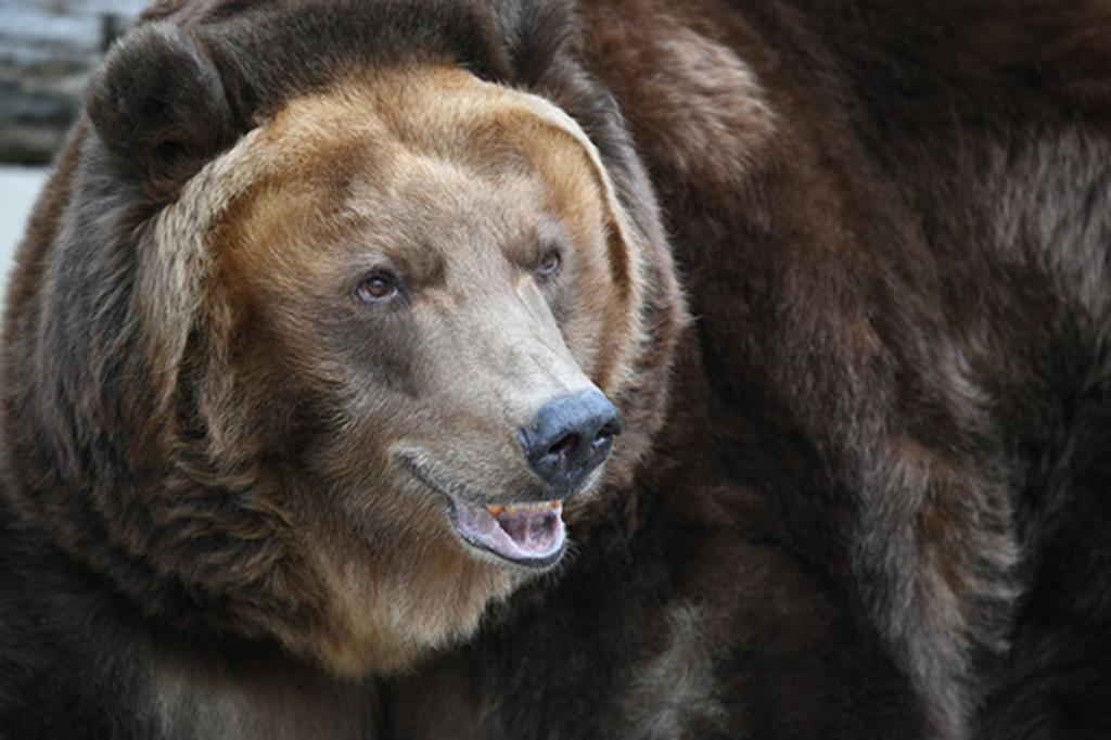 Медведь набросился на руку кормившей его туристки